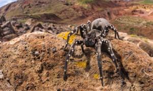 Desertas wolf spider.