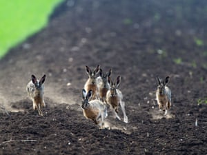More like beaster bunny than Easter bunny: hares sprint to win the attention of females in Ingo Gerlach near lake Neusiedl, Austria.