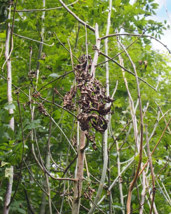 Ash dieback causes leaves to blacken and droop.