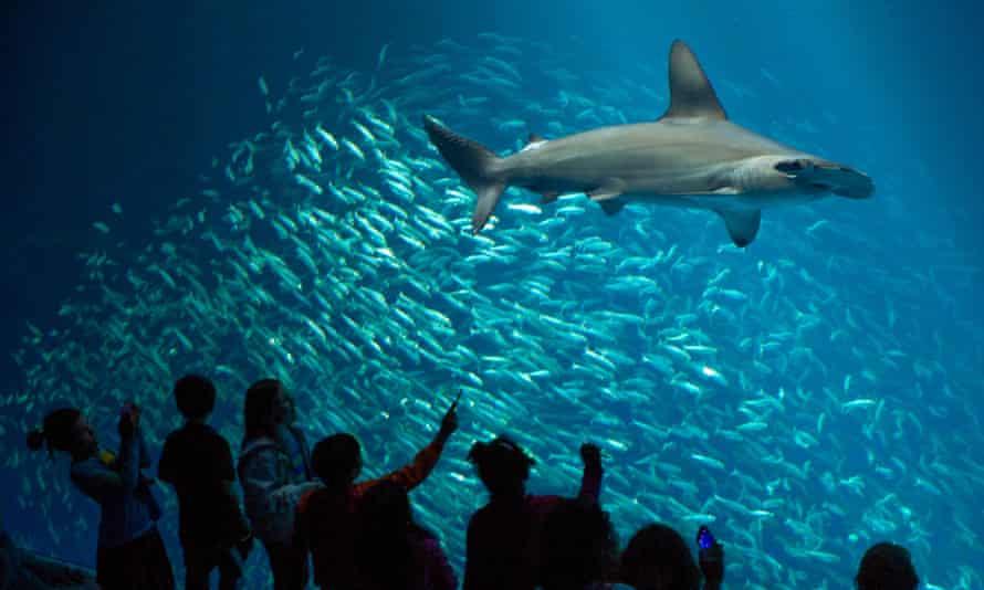 A hammerhead shark swims inside the Open Sea exhibit at the Monterey Bay aquarium in California.