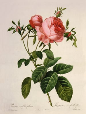 At the time the publication of the Jardin de la Malmaison, about Joséphine's garden near Paris, was approaching completion. It was lavishly illustrated, with colour-printed stipple engravings based on watercolours by Redouté and descriptions by Étienne- Pierre Ventenat. Les roses used the same technique of stipple engraving, this time with descriptions by Claude- Antoine Thory. In this case the association with Joséphine was indirect: she had died in 1814 at Malmaison, and the roses documented by Redouté came from various gardens in and near Paris. One, in Saint-Denis, had been owned by Jacques-Louis Descemet, previously a supplier to Joséphine, who cultivated the cabbage rose shown here. When this illustration appeared in the nineteenth installment of Les roses in Paris in July 1820, Descemet had already gone bankrupt due to the plundering of his garden by British troops.