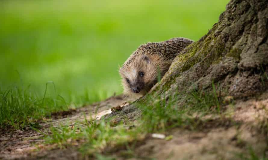 Hedgehog emerging from behind a tree.