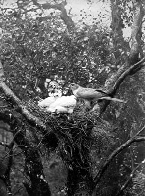 'Female sparrow hawk and young'