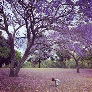 A boy collects jacaranda flowers in Long Pocket, Queensland