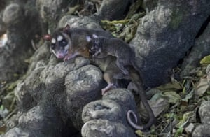 A grey four-eyed opossum (Philander opossum) and its young are released into their natural habitat in Chinandega, Nicaragua.