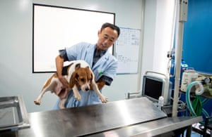 A technician prepares to give a canine surrogate mother an ultrasound