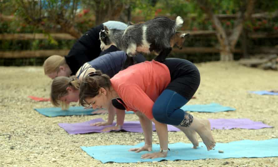 A sunnymount pygmy goat stands on the back of a woman during the goat yoga class at the RHS Malvern spring festival earlier this year.