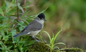 A blackcap's song was wrongly identified as a blackbird