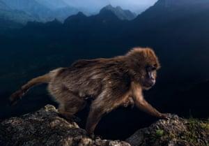 A gelada monkey in Ethiopia