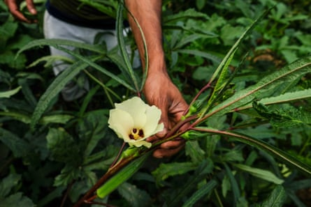 Kamal Mia shows an okra flower