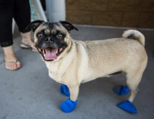Four-year-old dog Chase wears a pair of booties that protect paws from the hot pavement.