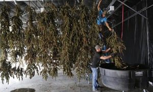Farmworkers inside a drying barn take down newly-harvested marijuana plants after a drying period at Los Suenos Farms in Avondale, Colorado. On Tuesday, states with pro-marijuana ballot measures voted overwhelmingly in favor of legalization.