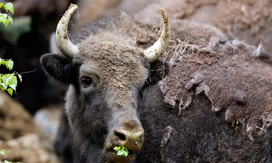 Bison national mammal US