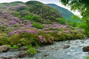 Rhododendron bushes on mountainside of Moel Hebog at Beddgelert, Wales.