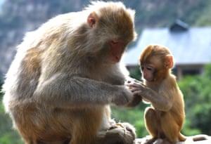 Jiyuan, ChinaA pair of wild Taihang macaques eat fruit in Henan Province