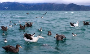 Albatross battle giant petrels for a bag of bait during a tour off the coast of Kaikoura