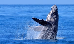 A humpback whale shows its flippers. Canada-based WhalePower Tubercle Technology has adapted the design of the humpback's highly efficient flippers for a range of fan and turbine blades.