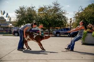 Iowa, US: A calf is prepared for the Iowa state fair in Des Moines