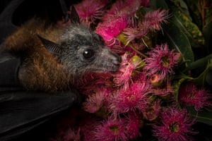 A rescued and orphaned grey-headed flying fox in captivity feeds on the pollen of a flowering native eucalyptus tree