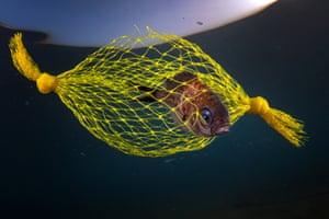 fish caught in yellow plastic netting