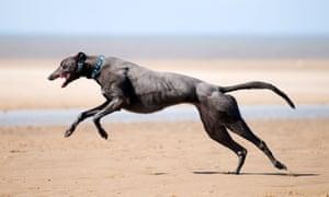 Greyhound running in full flight across the sand at Old Hunstanton, Norfolk.