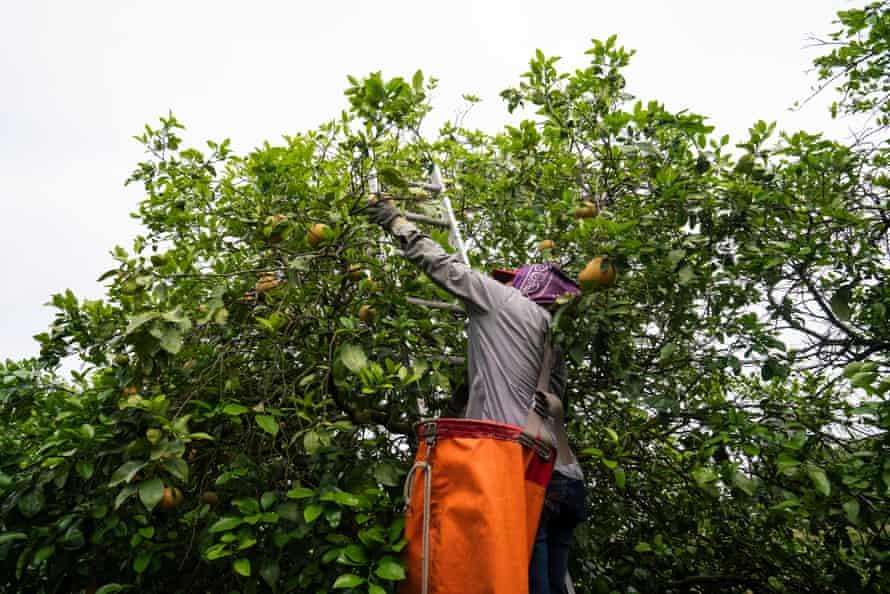 Maria, left, harvests grapefruits in the Rio Grande Valley in Texas.