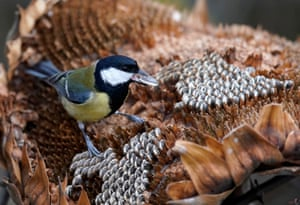 A great tit sits on a sunflower at a winter food place for birds in Rheinstetten, near Karlsruhe in Germany