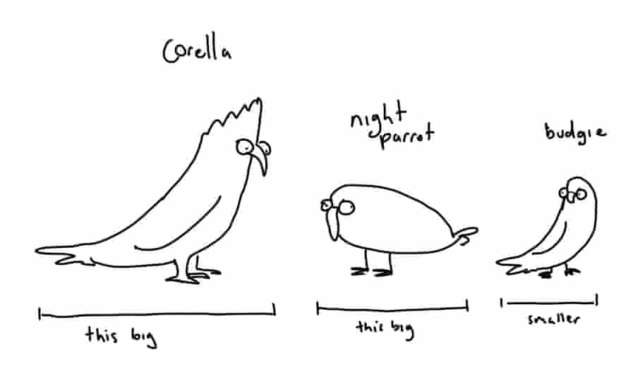 night parrot in comparison to other birds
