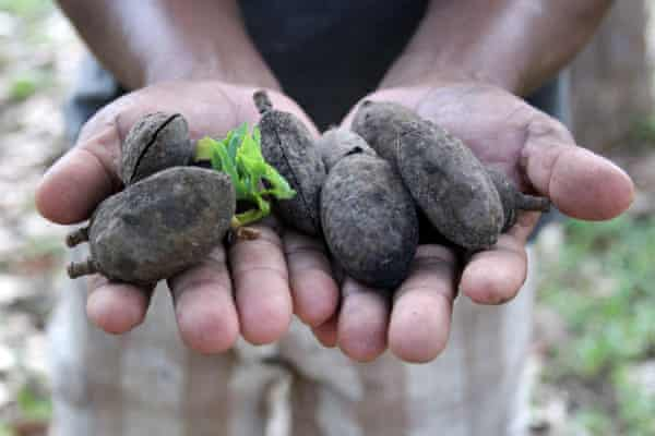 Seeds for cumaru trees, which are being planted in burned and razed areas of the Amazon rainforest.