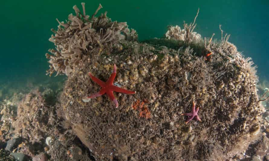 Bloody Henry starfish at the new Holderness Inshore MCZ