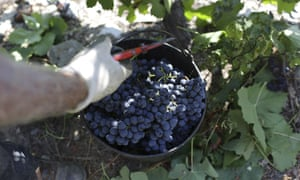 A gloved hand lifting a container of black grapes in a vineyard