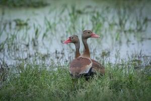 Black bellied whistling ducks.