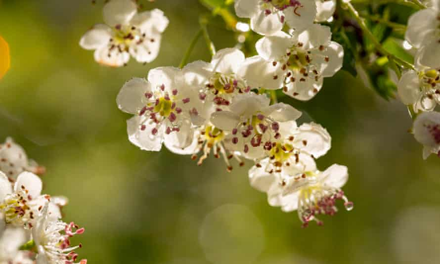 'A newly flowering hawthorn catches my nose with its ripe, lurid smell.'