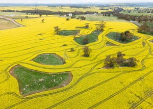 Canola farmers in NSW are enjoying a bumper harvest following drought-breaking rains during the Australian winter.