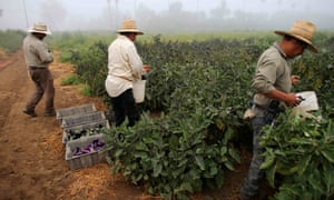 Farm workers pick eggplant in the early morning fog on a farm in Rancho Santa Fe, California. It's the first state to introduce time-and-a-half pay for farm workers after eight hours of work a day, or 40 hours a week.