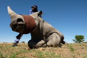 A member of the farm team stands with a sedated and blindfolded white rhino, before it has it's horn trimmed