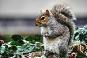 Grey squirrel in Bristol, UK, where a new study has revealed how the animals are stealing huge amounts of garden bird seed every year