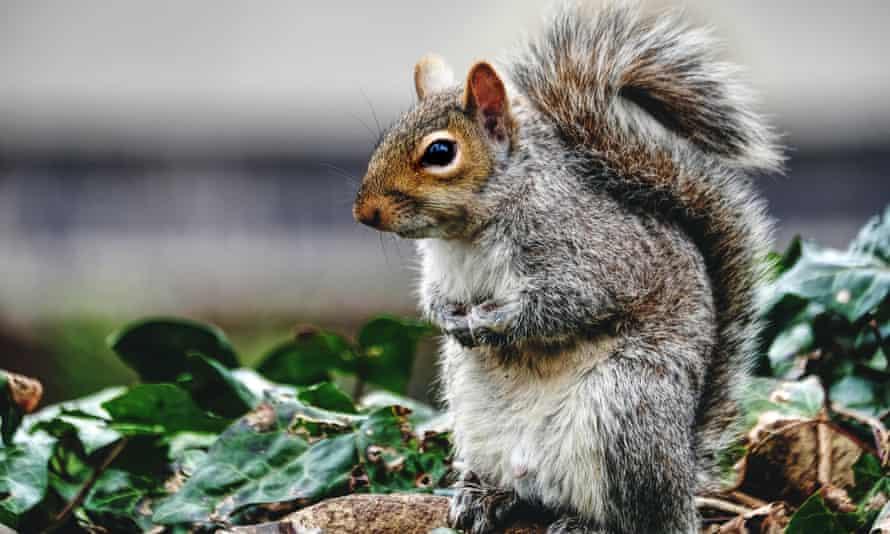 On the menu: a grey squirrel.