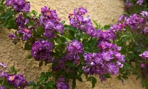 Rose 'Veilchenblau'.
