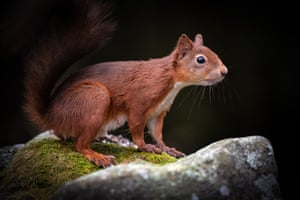 Red squirrel, Yorkshire Dales national park, by Deborah Clarke: 'I spotted this lively red squirrel scampering along the top of a drystone wall in Snaizeholme. Luckily for me, it paused for a second, before disappearing into a hole in the wall, probably in search of a long lost nut cache.'