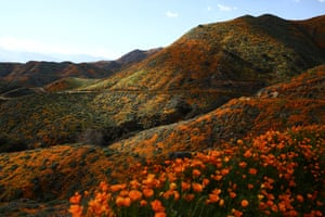 Poppies blanket the hills of Walker Canyon