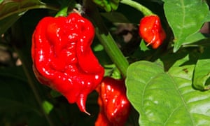 Carolina Reapers, formerly the world's hottest chilli peppers.