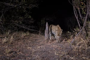 The camera traps were left out overnight in order to photograph elusive nocturnal wildlife, such as this leopard