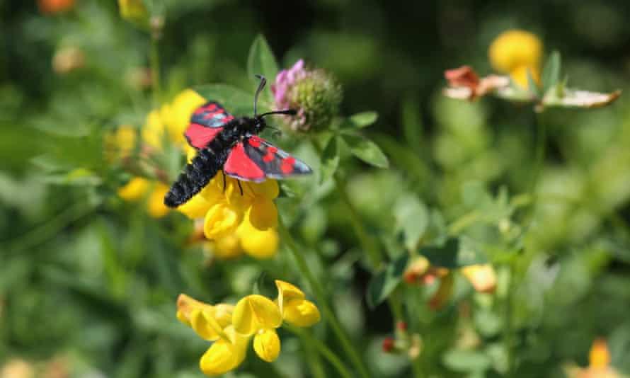 A six-spot Burnet moth sits on flowers