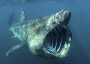 The basking shark (Cetorhinus maximus)