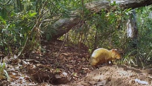 An Azara's agouti, a  relative of the guinea pig,  at the giant armadillo's burrow.