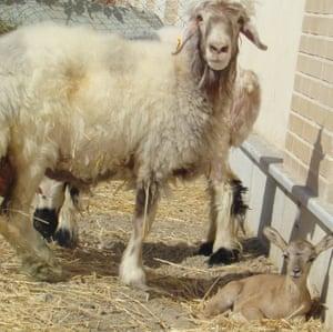 Domestic sheep with the newborn mouflon