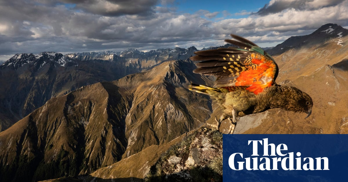 World's only alpine parrot may have moved to the mountains to avoid people