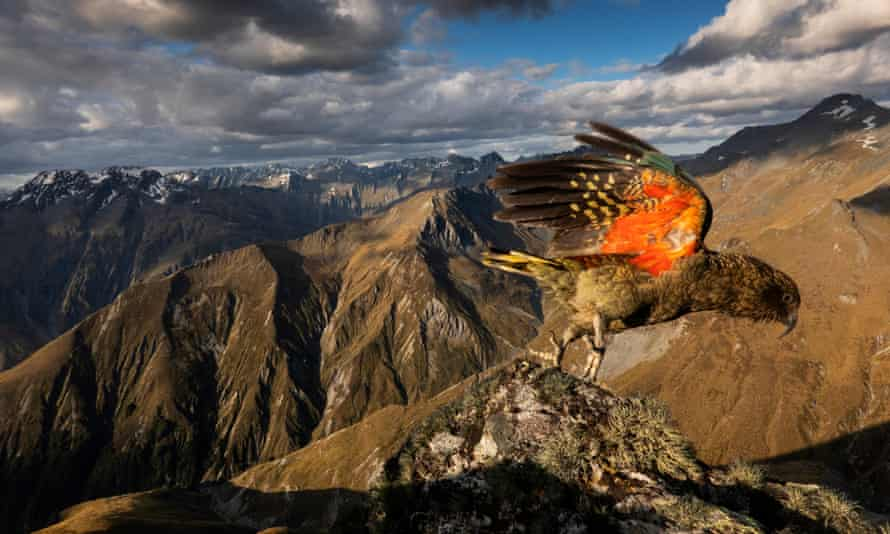 The endangered kea is the world's only alpine parrot, and one of the most intelligent birds