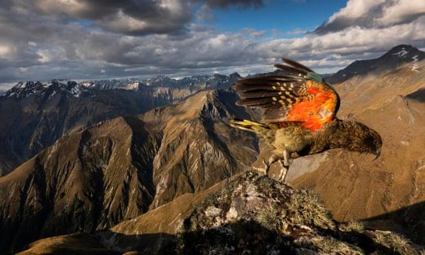 World's only alpine parrot,New Zealand's kea ,Michael Knapp,harbouchanews